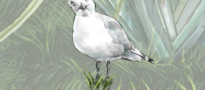 cartoon of black billed gull